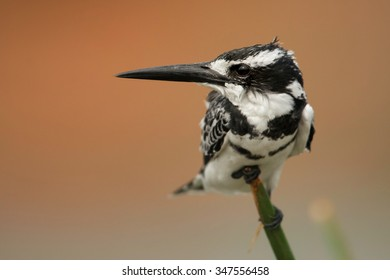 Pied Kingfisher Ceryle rudis perched on branch. Colorful evening orange background on river Nile, Uganda.