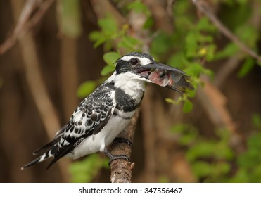 Pied Kingfisher Ceryle rudis perched on branch with succesfull catch. Green evening background on river Nile, Uganda.