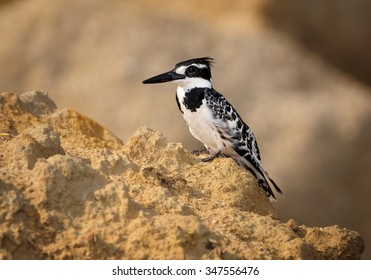 Pied Kingfisher Ceryle rudis perched on river bank rock. Colorful evening orange background on river Chobe, Botswana.