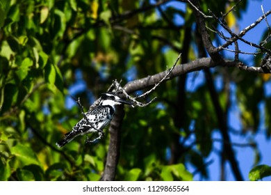 Pied Kingfisher in Chobe National Park