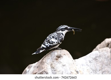 Pied Kingfisher on rock with fish in  national park