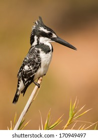 A Pied Kingfisher posing on a reed in Kruger National Park, South Africa