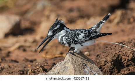 Pied kingfisher standing on stone when excreting
