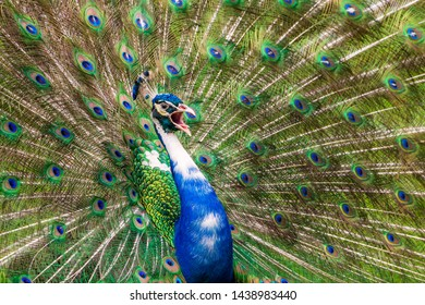 Pied peacock / Indian peafowl (Pavo cristatus) with white coloring, calling and displaying tail feathers - Florida, USA