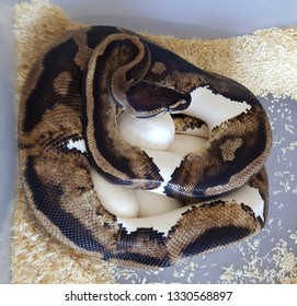 A pied royal python female snake on her eggs, piebald ball python reptile pet incubation