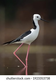 The pied stilt, also known as the white-headed stilt, is a shorebird in the family Recurvirostridae.