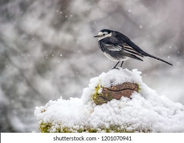 Pied Wagtail black and white garden bird sitting in the snow with a natural snowy background taken in United Kingdom.
