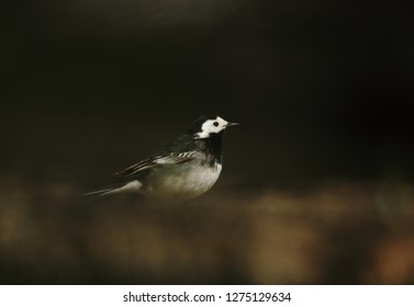 Pied wagtail in Ireland