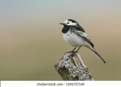 A Pied Wagtail, Motacilla alba, perching on a lichen covered post.