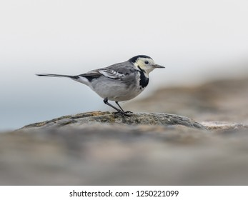 Pied Wagtail on harbour wall