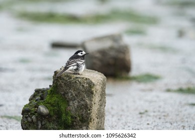 Pied Wagtail on the rock - Ireland