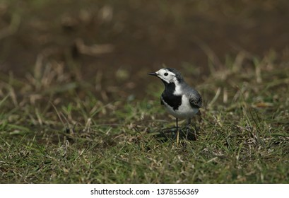 A Pied or White wagtail, Motacilla alba, hunting for insects to eat in a meadow in the UK.