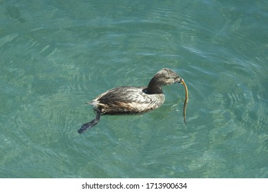 A pied-billed grebe captures a small pipefish to eat in the waters of Morro bay, California.