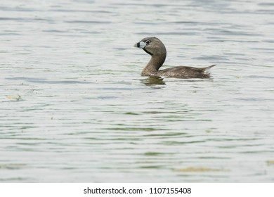 Pied-billed Grebe swimming in the open water. Rouge National Urban Park, Toronto, Ontario, Canada.