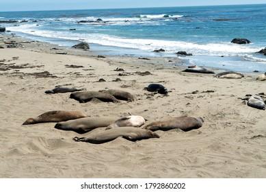 Piedras Blancas, San Simeon, California, August 1, 2020: Elephant seal rookery on Piedra Blancas
