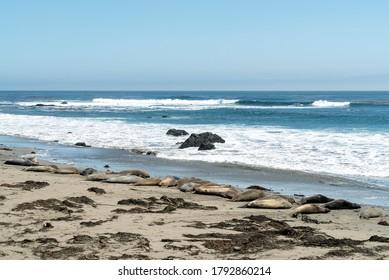 Piedras Blancas, San Simeon, California, August 1, 2020: Elephant seal rookery on Piedra Blancas beach