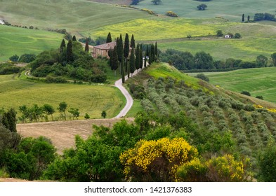 Pienza, Tuscany - June 2019: beautiful landscape of Tuscany in Italy, Podere Belvedere in Val d Orcia near Pienza with cypress, olive trees and yellow broom flowers on foreground