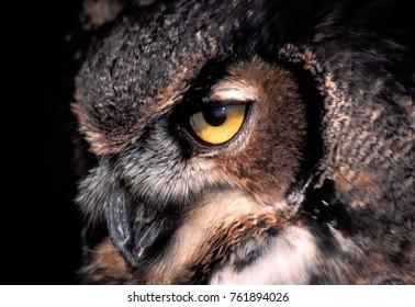 Piercing gaze of the Great Horned Owl (Bubo virginianus)