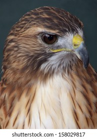 Piercing gaze of the Red Tail Hawk, colloquially known as the Chickenhawk