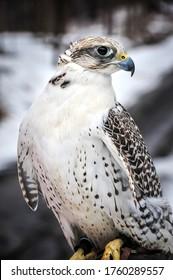 Piercing gaze White Gyrfalcon in winter