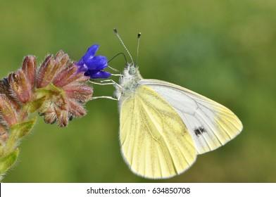 Pieris balcana, Large white butterfly common on the Balkan Peninsula, Artogeia balcana, Balkan Green Veined White