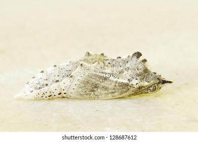 Pieris brassicae /  Cabbage butterfly pupa