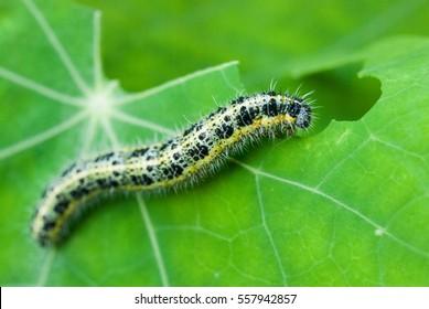 Pieris brassicae caterpillar