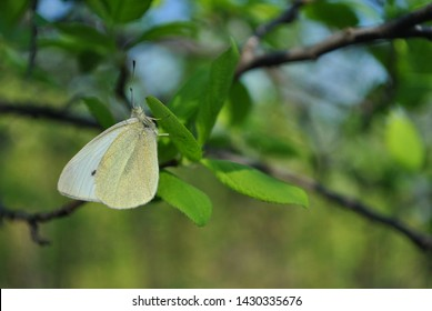 Pieris brassicae, the large white  butterfly (сabbage butterfly, cabbage white, cabbage moth) sitting on green leaf, close up detail, blurry background