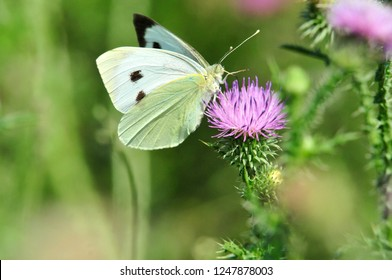Pieris brassicae, the large white, also called cabbage butterfly, cabbage white is a butterfly in the family Pieridae. Carduus is a genus of flowering plants in the aster family Asteraceae.