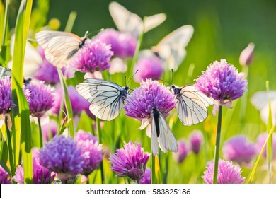 Pieris butterflies The large white on a chive flowers