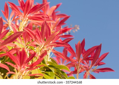 Pieris Forest Flame evergreen shrub - new bright red spring leaves