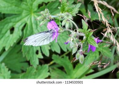Pieris napi on the flower