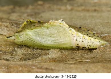 Pieris sp. butterfly pupa
