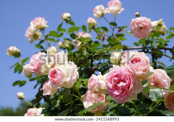 Pierre De Ronsard Baby Pink Color Stock Photo Edit Now