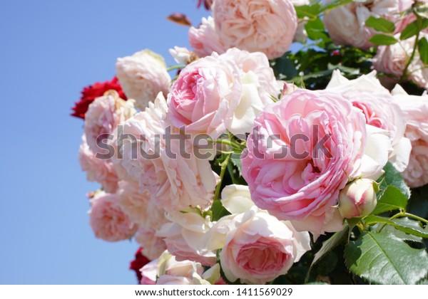 Pierre De Ronsard Baby Pink Color Nature Stock Image