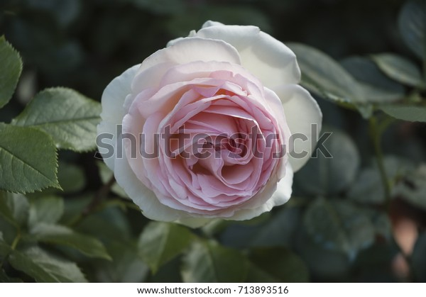 Pierre De Ronsard Fragrant Elegant Rose Stock Photo Edit