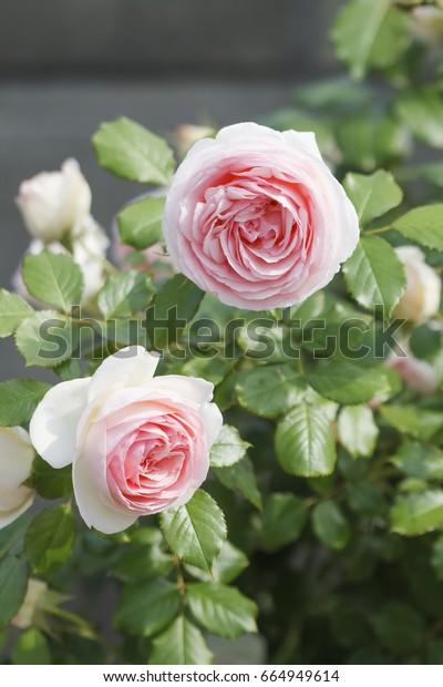 Pierre De Ronsard Rose Stock Photo Edit Now 664949614