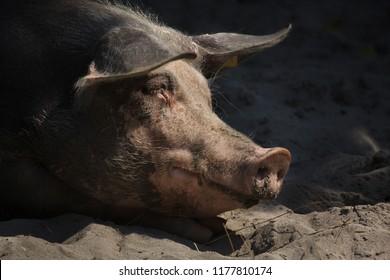 Pietrain swine (Sus scrofa f. domesticus).
