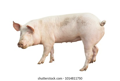 pig animal isolated on white