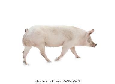 pig animal walking isolated on white