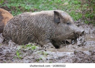 pig bathes in dirt