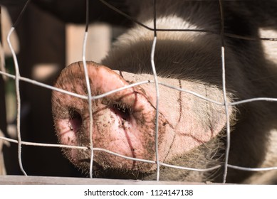 pig behind a fence, close up