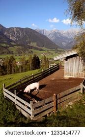 A pig at a bio farm, Austria,