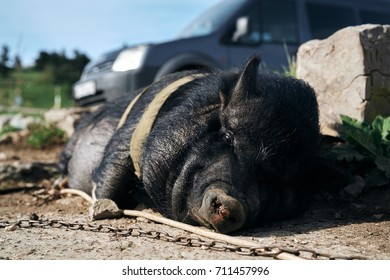 pig black, cattle