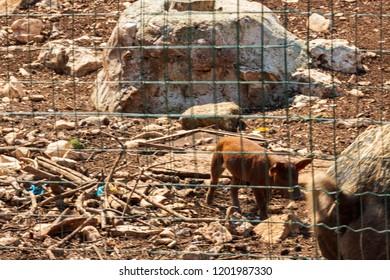 Pig breeding in a farmhouse in Puglia, southern Italy region.