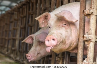 Pig in the countryside farm