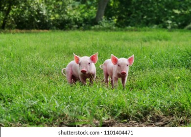 pig cute newborn standing on a grass lawn. concept of biological , animal health , friendship , love of nature . vegan and vegetarian style .
