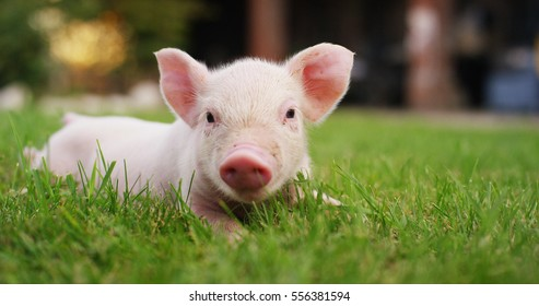 pig cute newborn standing on a grass lawn. concept of biological , animal health , friendship , love of nature . vegan and vegetarian style . respect for nature .