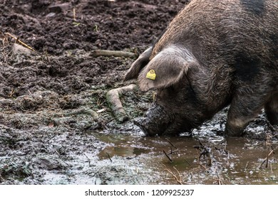 Pig is digging in the mud
