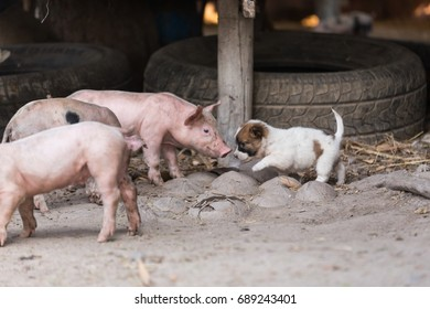 pig ,dog ,Cute puppy playing with piggy